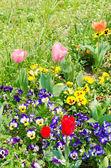 三色紫罗兰和郁金香的花朵 — 图库照片