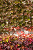 Leaves of ivy that has red autumn leaves — Stock Photo