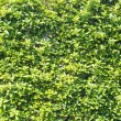 Hedge that young leaves are overgrown — Stock Photo #46005451