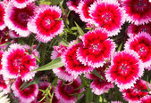 Red flowers bloom in spring — Stock Photo