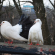In the park, sitting on a branch perch pair of doves - Stock Photo