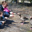 mother with her son and daughter in the park feed the geese — Stock Photo