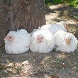 Stock Photo: Four white chick sitting on grass near tree.