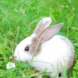 Small gray-and-white rabbit sitting on grass. — Stock Photo #29326615