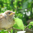In the garden, sitting on a branch of a small nestling sparrow — Stock Photo #29326665
