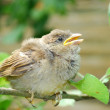 Stock Photo: In garden, sitting on branch of small nestling sparrow