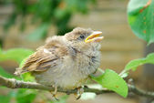 In the garden, sitting on a branch of a small nestling sparrow — Stock Photo