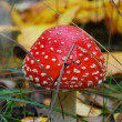 Amanita growing under a pine tree. — Stock Photo