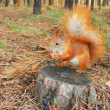 Squirrel sitting on a stump is eating a nut  — Lizenzfreies Foto