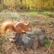 Squirrel sitting on a stump is eating a nut — Stock Photo