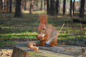 Squirrel sitting on a stump is eating a nut — Stok fotoğraf