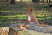 Squirrel sitting on a stump is eating a nut — Foto de Stock