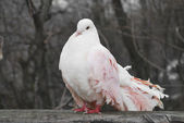 One pink pigeon in the park in the spring sits on the fence — Stock Photo