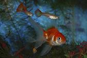 Het aquarium zwemmen gupii en goud vis. — Stockfoto