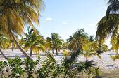 Palmeras en la playa. — Foto de Stock