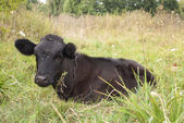 Cow lying in a meadow. — Stock Photo