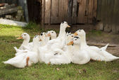 A flock of ducks sitting on the grass. — Stock Photo