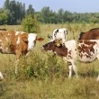 Stock Photo: Сcows graze in meadow.