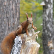Squirrel in forest. — ストック写真 #41583989