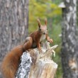 Foto de Stock  : Squirrel in forest.