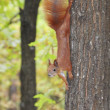 Stock Photo: Squirrel in forest.