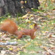 Foto Stock: Squirrel in forest.