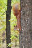 Squirrel in the forest. — Stock fotografie