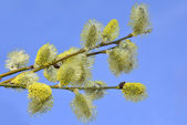 Willow branches — Foto Stock