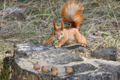 Squirrel in the forest. — 图库照片