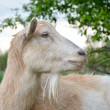 Goat. — Stock Photo #46044009