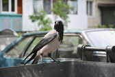 Crow sitting on a garbage can. — Stock Photo