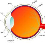 Eye anatomy — Stock Photo