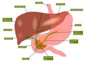 Anatomia wątroby i pęcherzyka żółciowego — Wektor stockowy