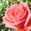 Pink rose in garden after rain. — Foto Stock