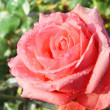 Pink rose in garden after rain. — Stockfoto