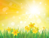 Vector of daffodil flowers on spring background. — Stock Vector