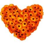 Calendula flowers heart shape isolated. — Stock Photo