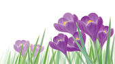 Vector spring crocuses flowers isolated. — Stock Vector