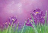 Vector spring crocuses flowers on violet background. — Stock Vector