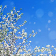 Blossoming tree branches on sky background. — Stock Photo