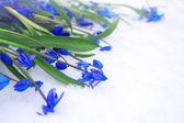 Beautiful blue snowdrops  on snow. — Stock Photo