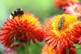 Bumble bees on flowers. — Stock Photo
