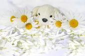 可爱的小狗,在白色 chamomiles. — 图库照片