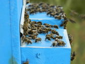 Bees on the alighting board — Stock Photo