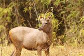 Ciervo sambar — Foto de Stock