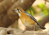 Orange headed thrush — Stock Photo