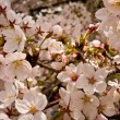Japanese Cherry Blossoms - Stock Photo