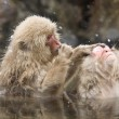 Snow monkeys grooming in hot spring — Stock Photo
