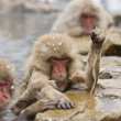 Angry Snow Monkey - Stock Photo