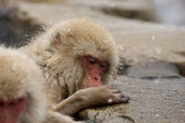 Snow Monkey in hot spring — Stock Photo